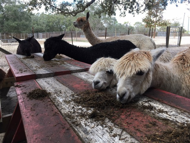 Alpacas at Alpaca Magic USA in Homosassa Springs, FL