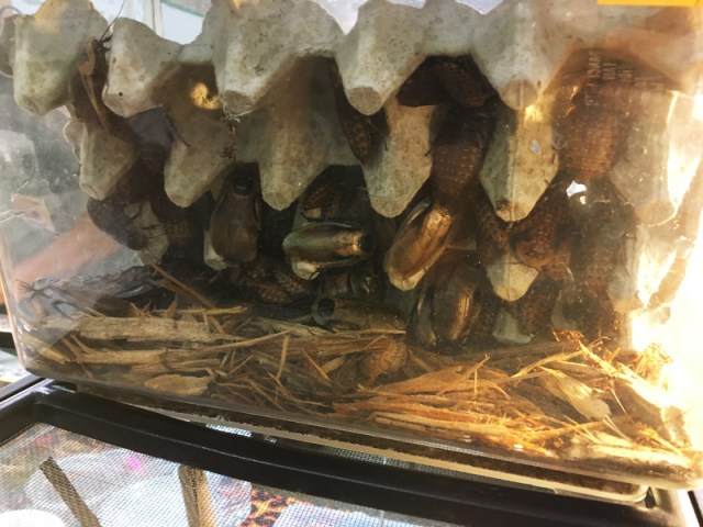 Pet Cockroaches at Tampa Repticon 2018
