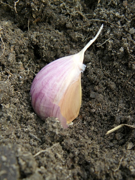 Garlic 4-howtogrowgarlic