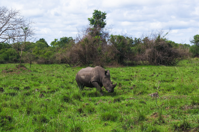 Rhino Trekking at Ziwa Rhino Sanctuary in Uganda