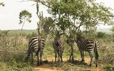 Mountain-biking with Zebras in Lake Mburo, Uganda