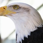 Bald Eagle at VINS in Quechee, Vermont
