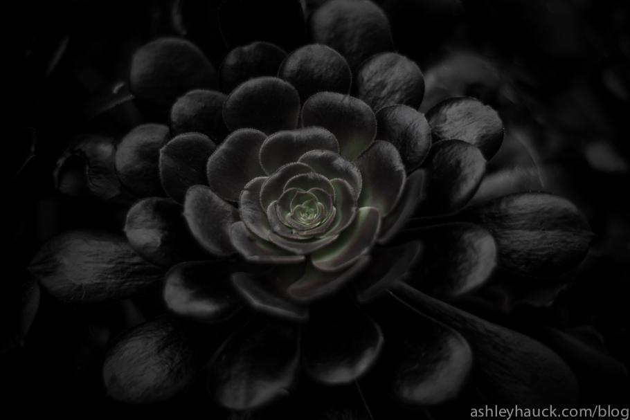 Aeonium arboreum Schwartzkopf