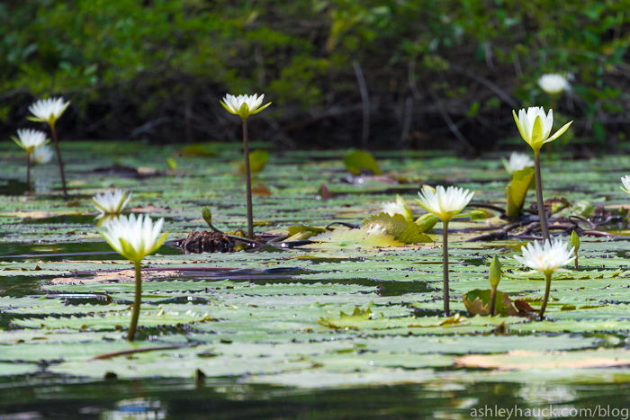 Lotus flowers, New River, Belize
