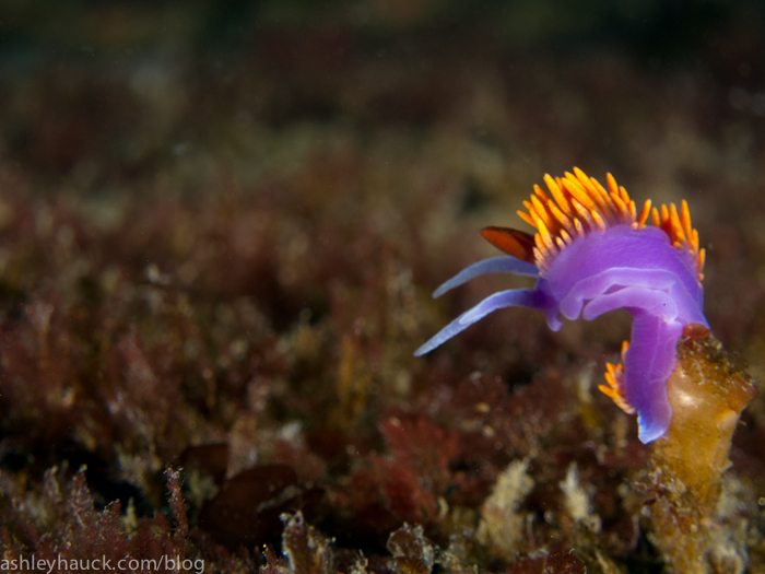 Spanish Shawl nudibranch on the Ruby E