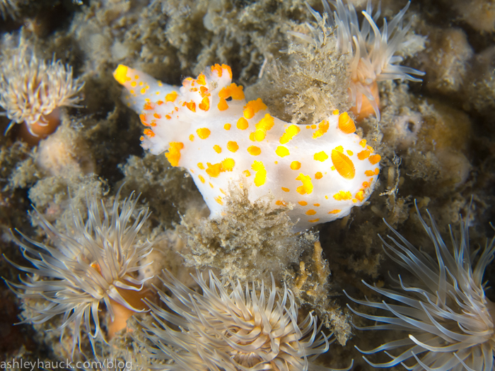 Clown nudibranch on the Ruby E