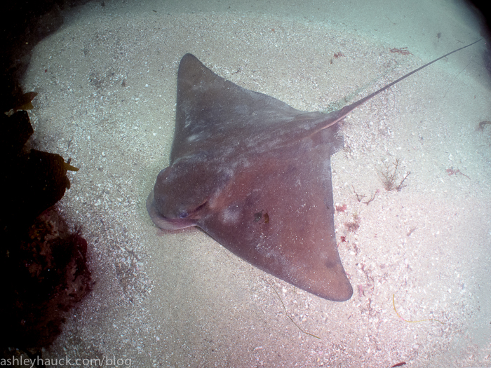 Bat ray at La Jolla Cove