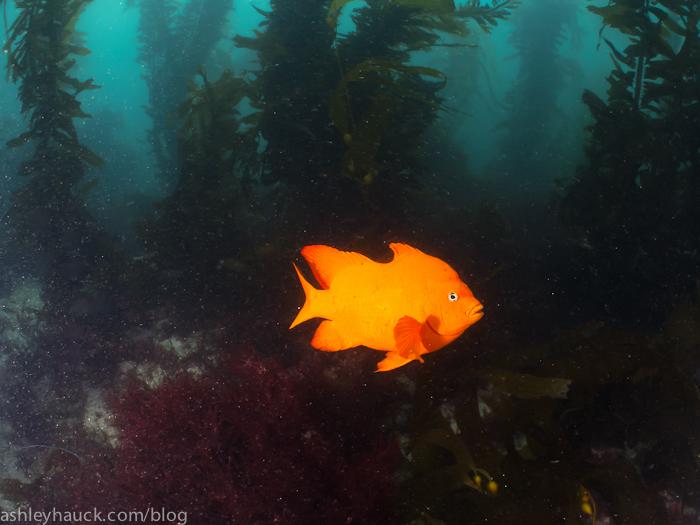 Garabaldi and kelp at La Jolla Cove