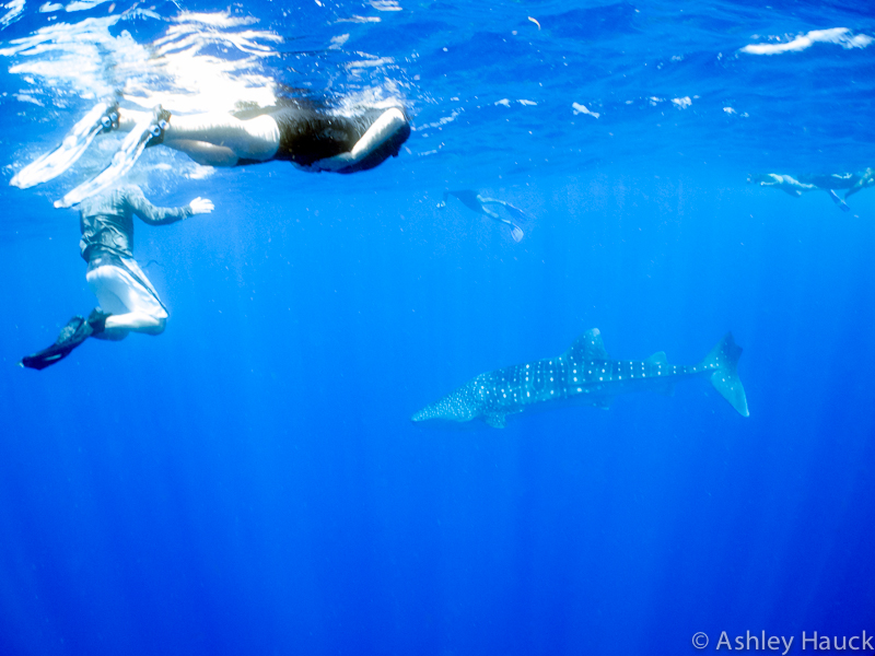 People clamoring to snorkel with a whale shark