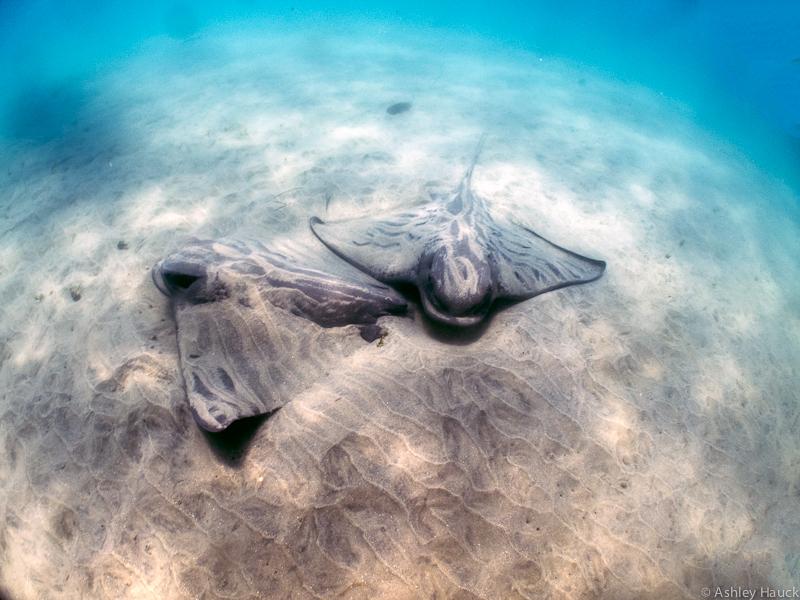 Bat rays at the Marine Room, La Jolla, California
