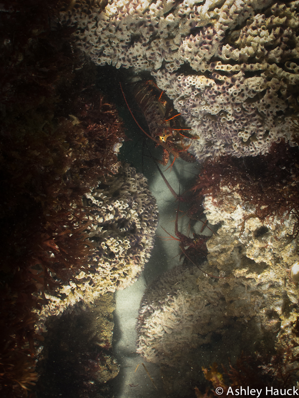 Photo of scuba diving Marine Street Beach - California Spiny Lobster