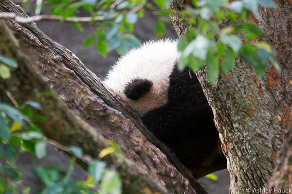 xiao-liwu-baby-panda-2