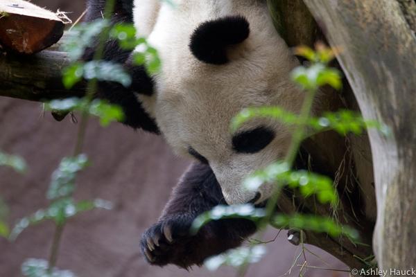 xiao-liwu-baby-panda-5
