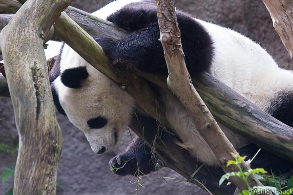 xiao-liwu-baby-panda-6