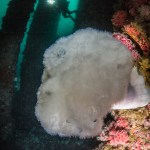 Metridium (white plumose anemone) on the Eureka oil rig