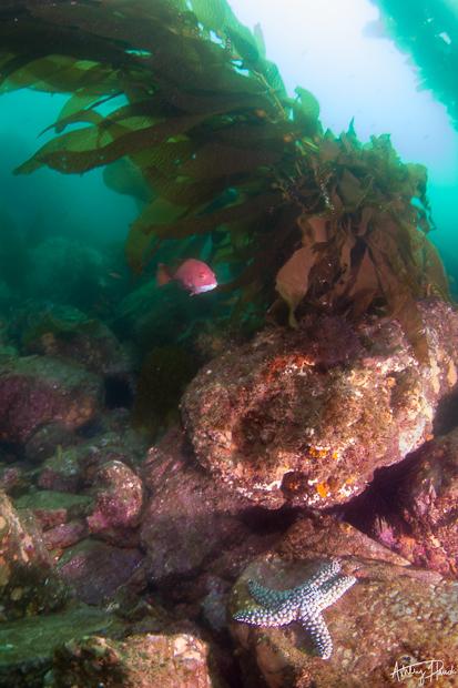 catalina chamber day-kelp-sheephead-starfish
