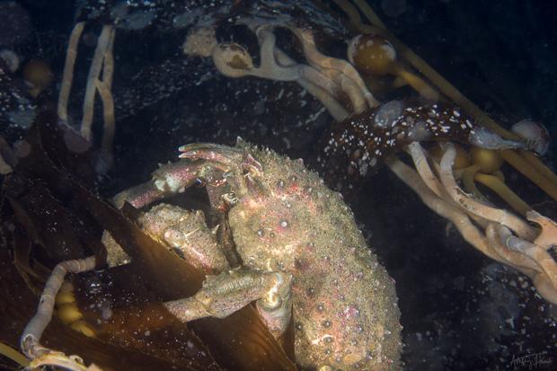 catalina chamber day-sheep-crab