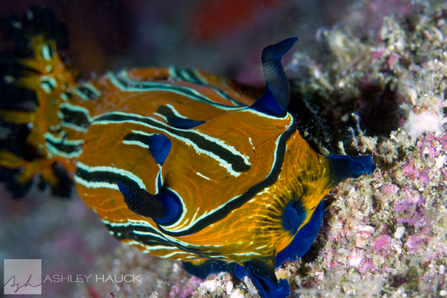 Sea of Cortez nudibranchs Tiger Dorid (Roboastra tigris)