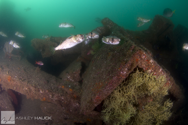 Sea of Cortez diving: Schooling puffer fish at the Salvatierra wreck, Sea of Cortez, Mexico