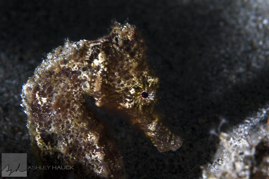 Seahorse, Westpunt, Curaçao