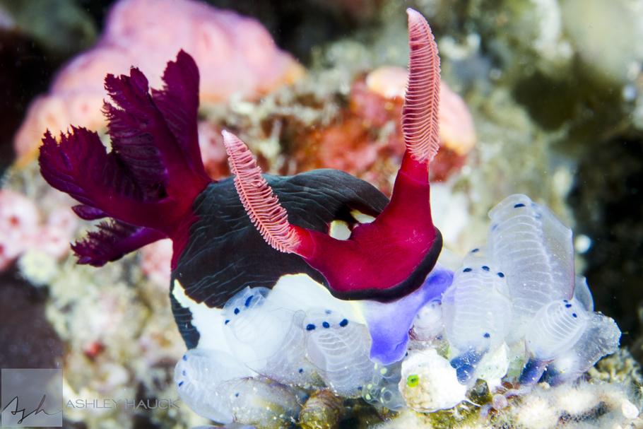 Anilao, Batangas, Philippines: Nembrotha chamberlaini nudibranch