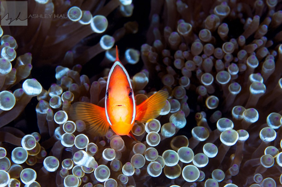 anilao-anemonefish-processed-with-topaz-detail-smooth-and-bold