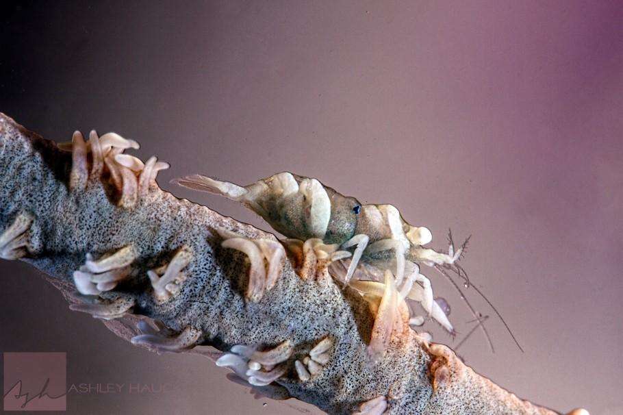 anilao-whip-coral-shrimp-philippines