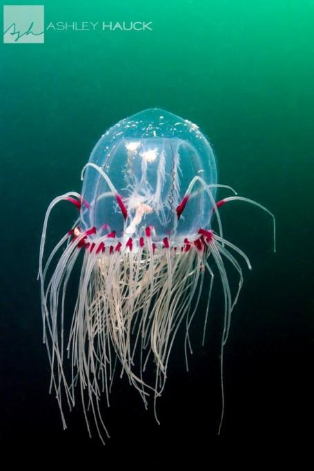 Red-Eye Medusa jellyfish (Polyorchis pencillatus)