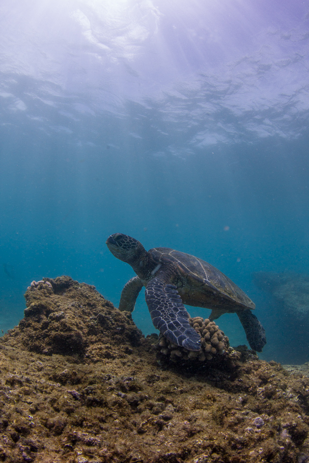 green-sea-turtle-topaz-remask-4
