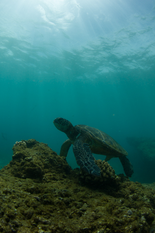 green-sea-turtle-topaz-remask-5