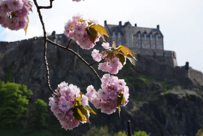 Edinburgh Cherry Blossoms 2