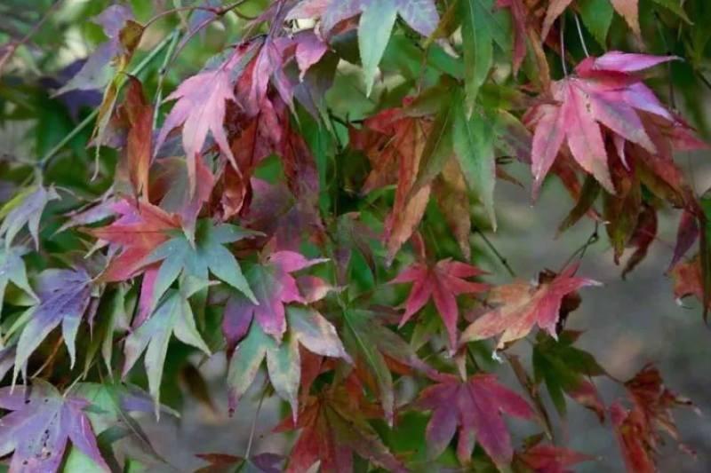 Japanese Maple Sapling Trees For Sale Ashridge Nurseries