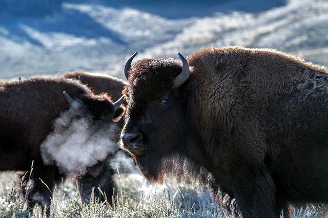 Bisonte al parco nazione di Yellowstone.