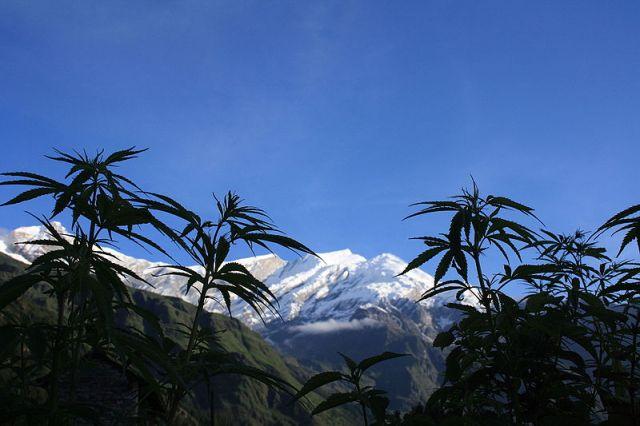 Piante di cannabis nel villaggio di Kalopani, Nepal. Foto Arne Hückelheim