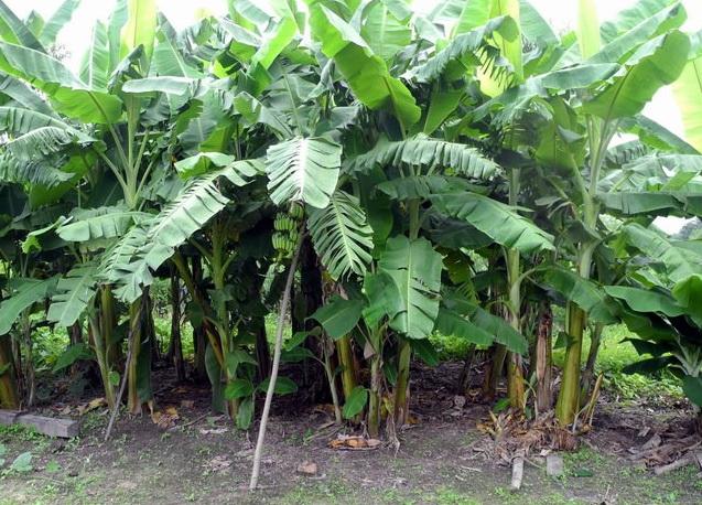 piante di banano