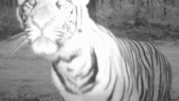 I filmati di una telecamera nascosta mostrano le tigri nel loro ambiente naturale – Filmato prodotto da Wildlife Conservation Society