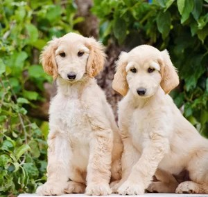 afghan hound puppy for sale in delhi, afghan hound puppy in india