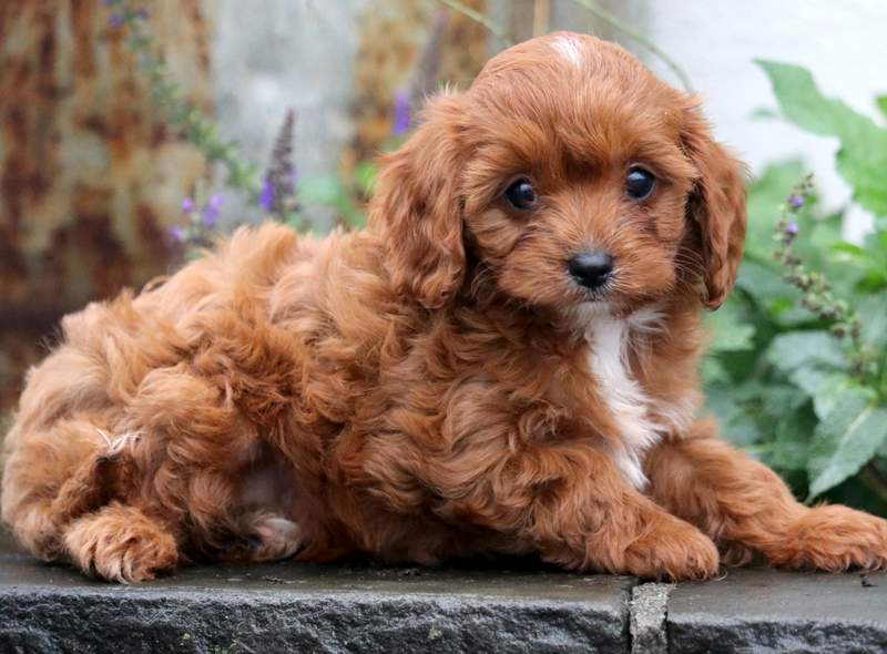 Cavapoo puppies for sale in india