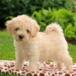 Havanese puppies for sale in India