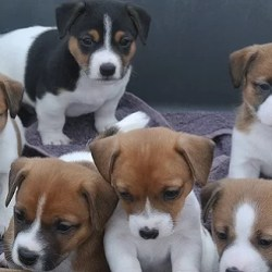 Jack Russell Terrier Puppy for sale in India