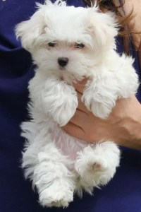 Maltese Puppies for sale in India