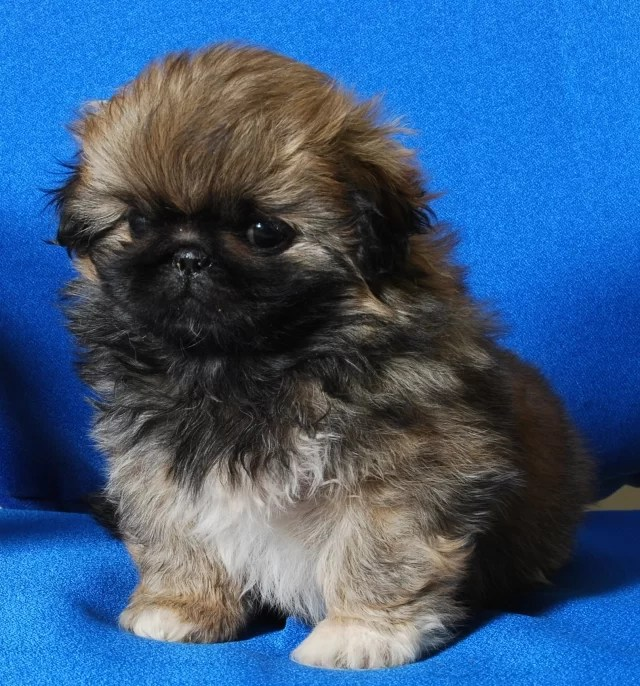 pekingese puppy for sale in india