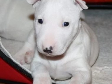 Bull Terrier puppy for sale in india