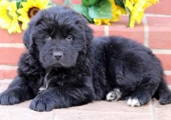 Newfoundland puppy for sale