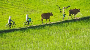 Follow the journey of the rice in Vietnam