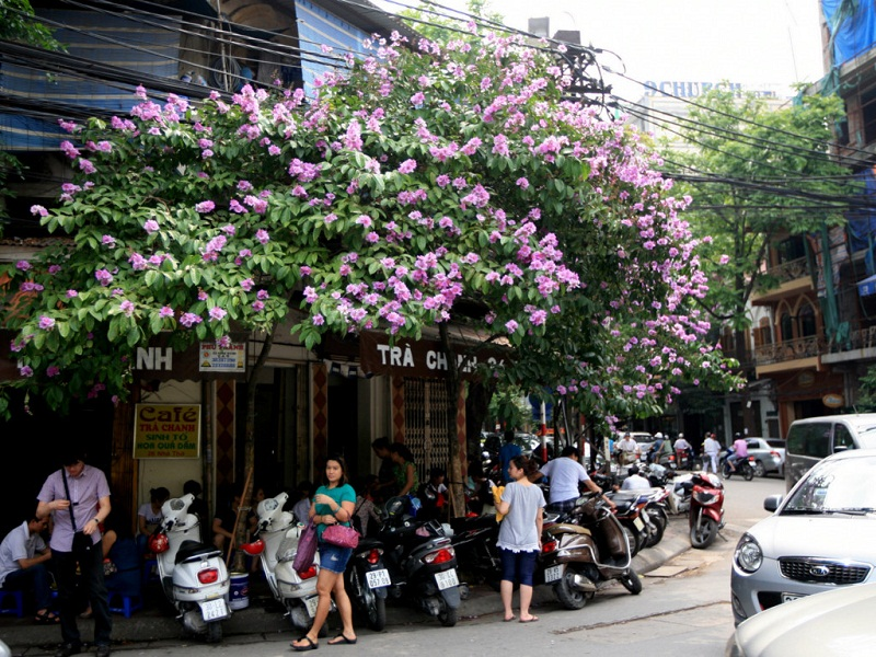 4-most-charming-summer-flowers-in-Hanoi2