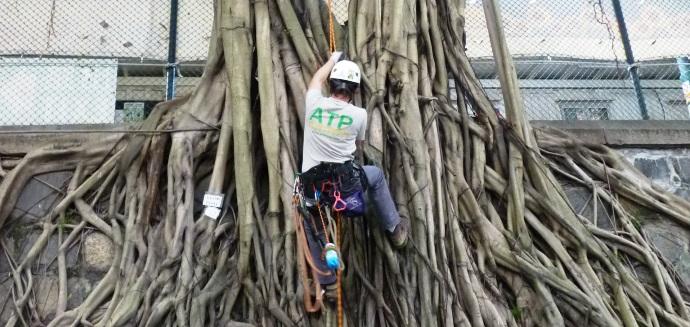 ATP arborist pruning ficus tree in Hong Kong