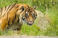 big tiger licking his chops