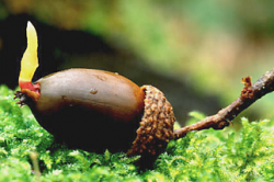 A Sprouting Acorn Begins to Grow