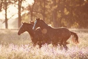 cart-horses